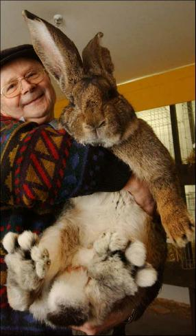 Herman The German Giant Rabbit